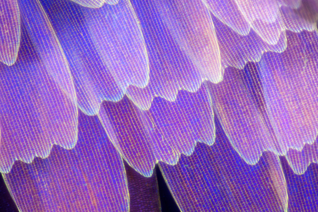 butterflywing upclose-tulip edges