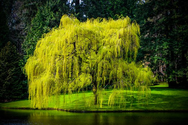 weeping willow by water
